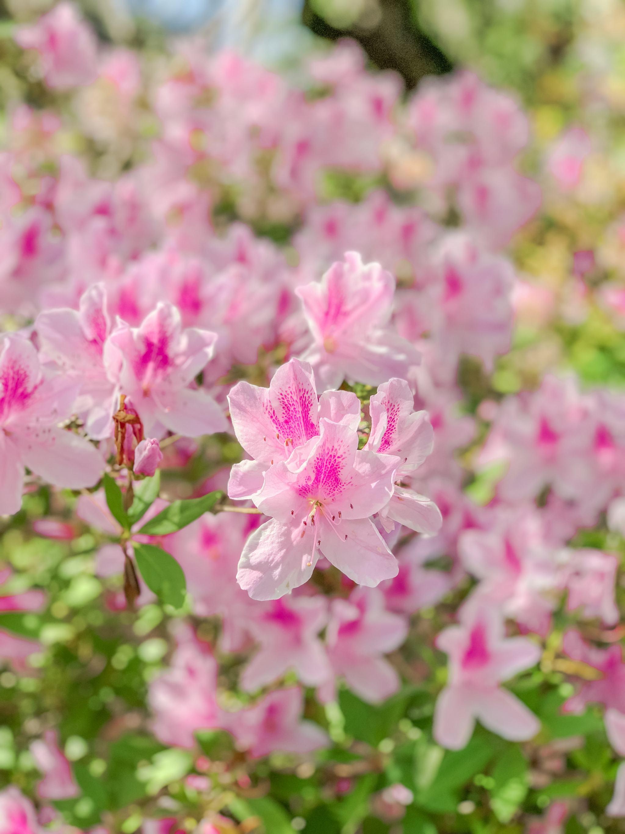 Bijuleni - Brookgreen Gardens flowers, Myrtle Beach